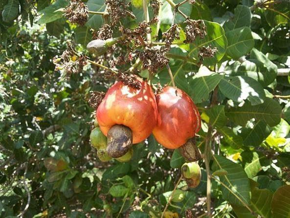 Pseudofruto ou falso fruto: O que é