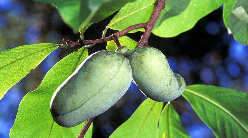 Frutas da América do Norte: Asimina Triloba