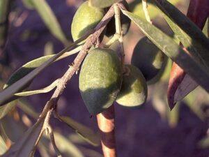Frutas Subtropicais: Azeitona