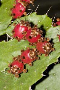 Cactos: Brasilopuntia brasiliensis