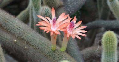 Cactos ou Cactus e outras plantas suculentas