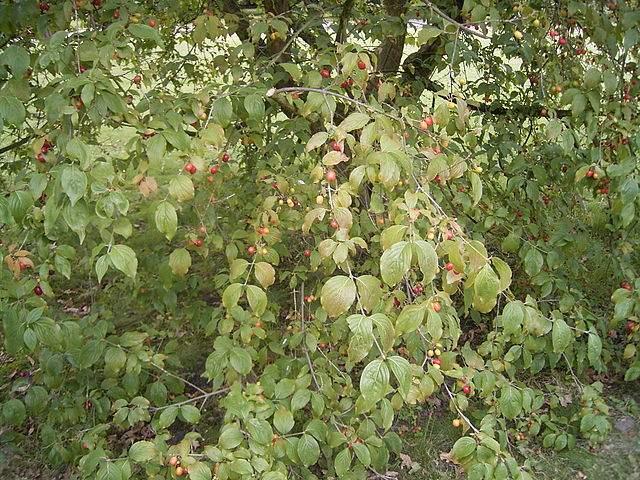 Frutas Subtropicais: Cornelian Cereja ou Cornus