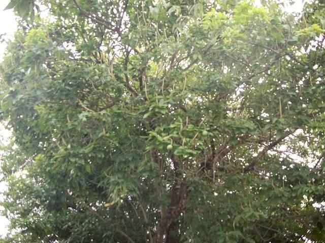 Frutas Equatoriais: Crateva Tapia ou Trapiá