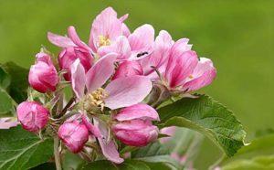Família Rosaceae: Qual a definição