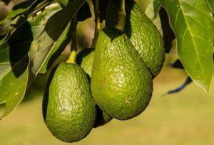 Frutas tropicais: Abacate