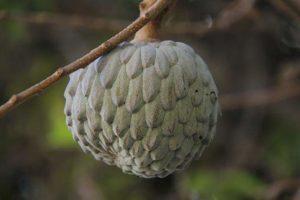Frutas tropicais: Fruta-do-conde