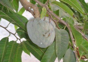 Frutas tropicais: Graviola