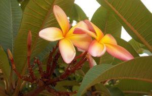Frutas tropicais: Jambolão