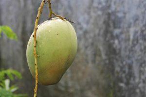 Frutas tropicais: Manga
