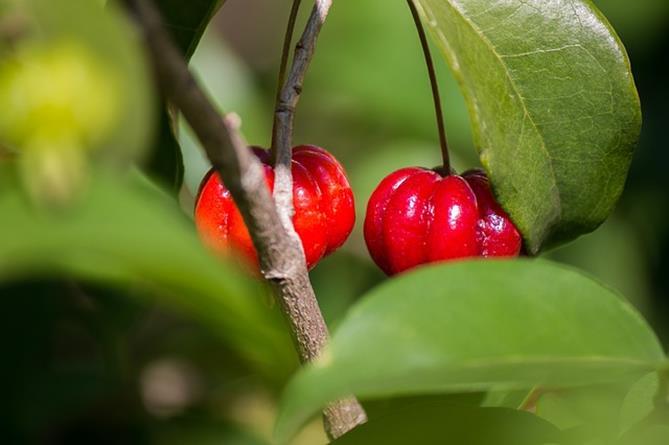 Frutas tropicais: Pitanga