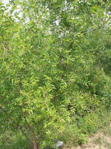 Frutas Subtropicais: Jujuba