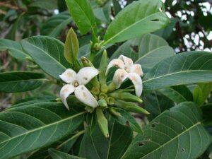 Frutas Equatoriais: Marmelada Nativa ou Puruí