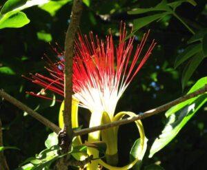 Frutas Equatoriais: Monguba ou Munguba