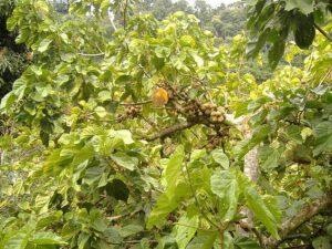 Frutas Equatoriais: Sapota do Solimões
