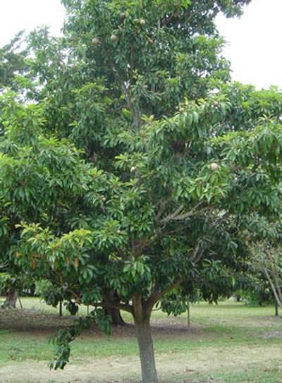 Frutas Equatoriais: Sapota ou Sapoti