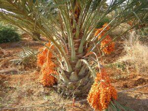Frutas Subtropicais: Tâmara