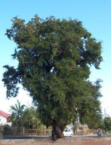Frutas Equatoriais: Tamarindo
