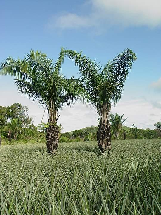 Frutas Equatoriais: Uricuru