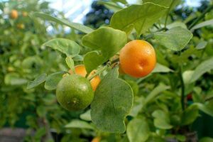 Frutas do Gênero Citrus: Calamondina