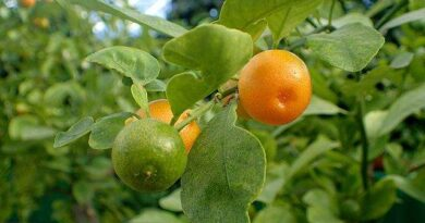 Frutas do Gênero Citrus: Calamondina