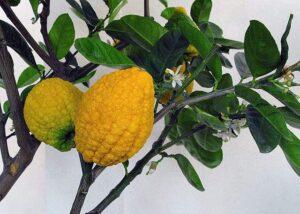 Frutas do Gênero Citrus: Cidra