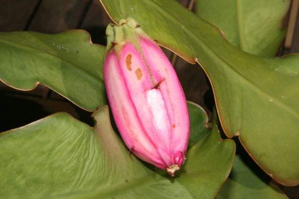 Cactos: Epiphyllum phyllantus