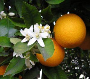 Frutas do Gênero Citrus: Laranja