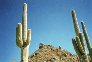 Cactos: Saguaro