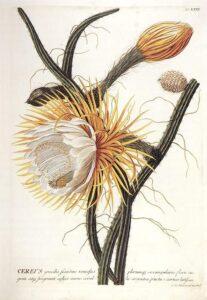Cactos: Selenicereus grandiflorus